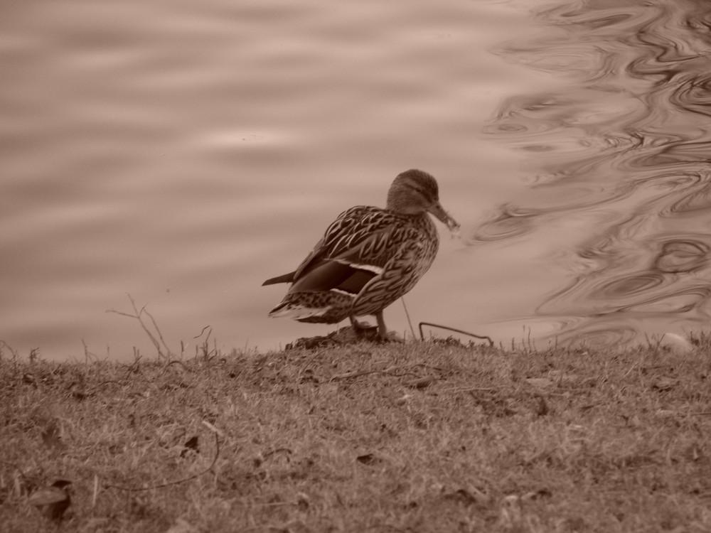 Le canard des années 60
