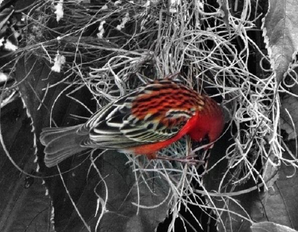le cardinal fait son nid