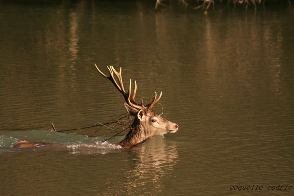 le cerf1