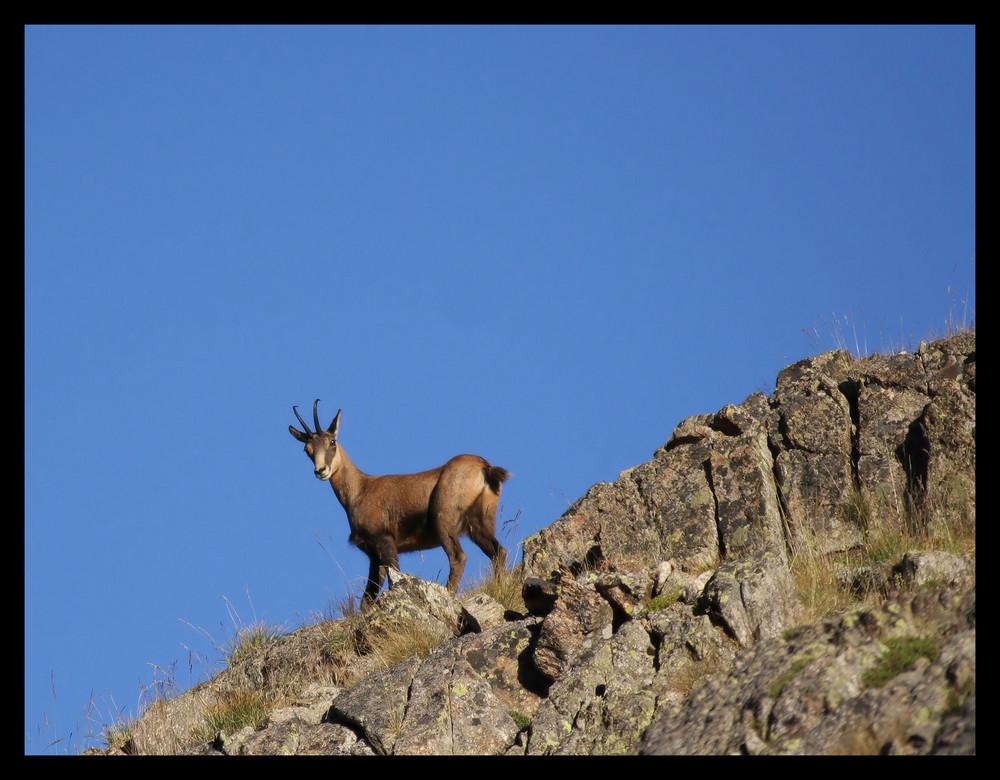 Le chamois dans la montagne