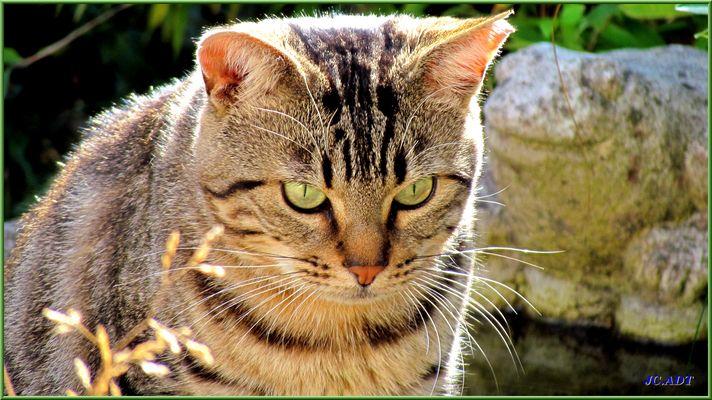 Le chat à l'oreille cassée