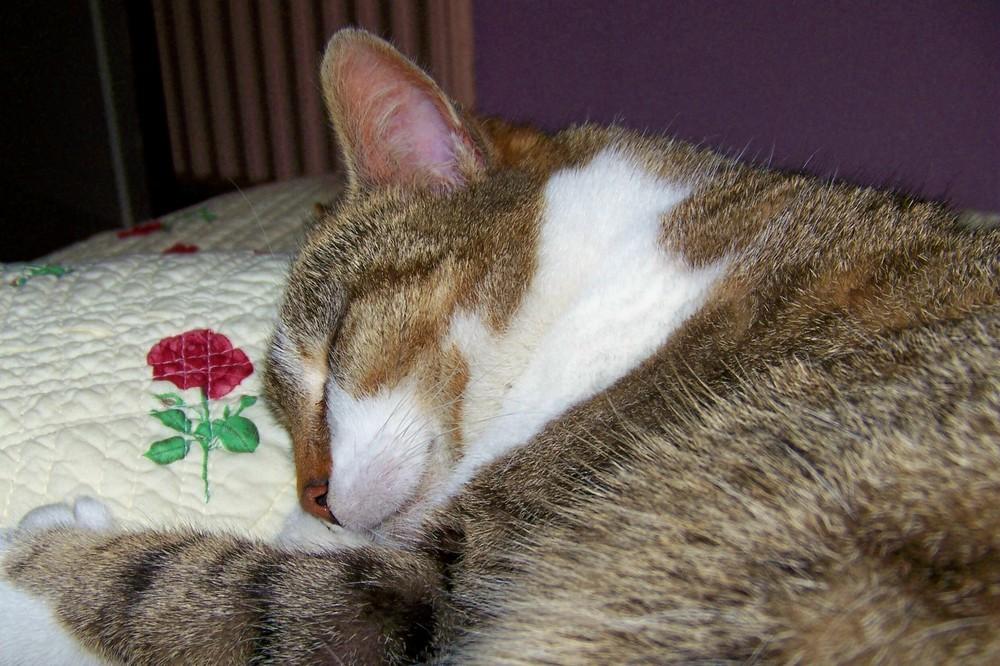 Le chat dormant et la rose