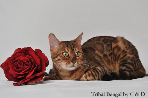 Le Chat et la rose