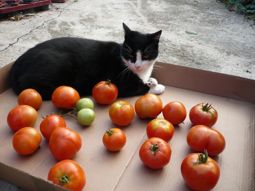 Le chat qui surveille les tomates...