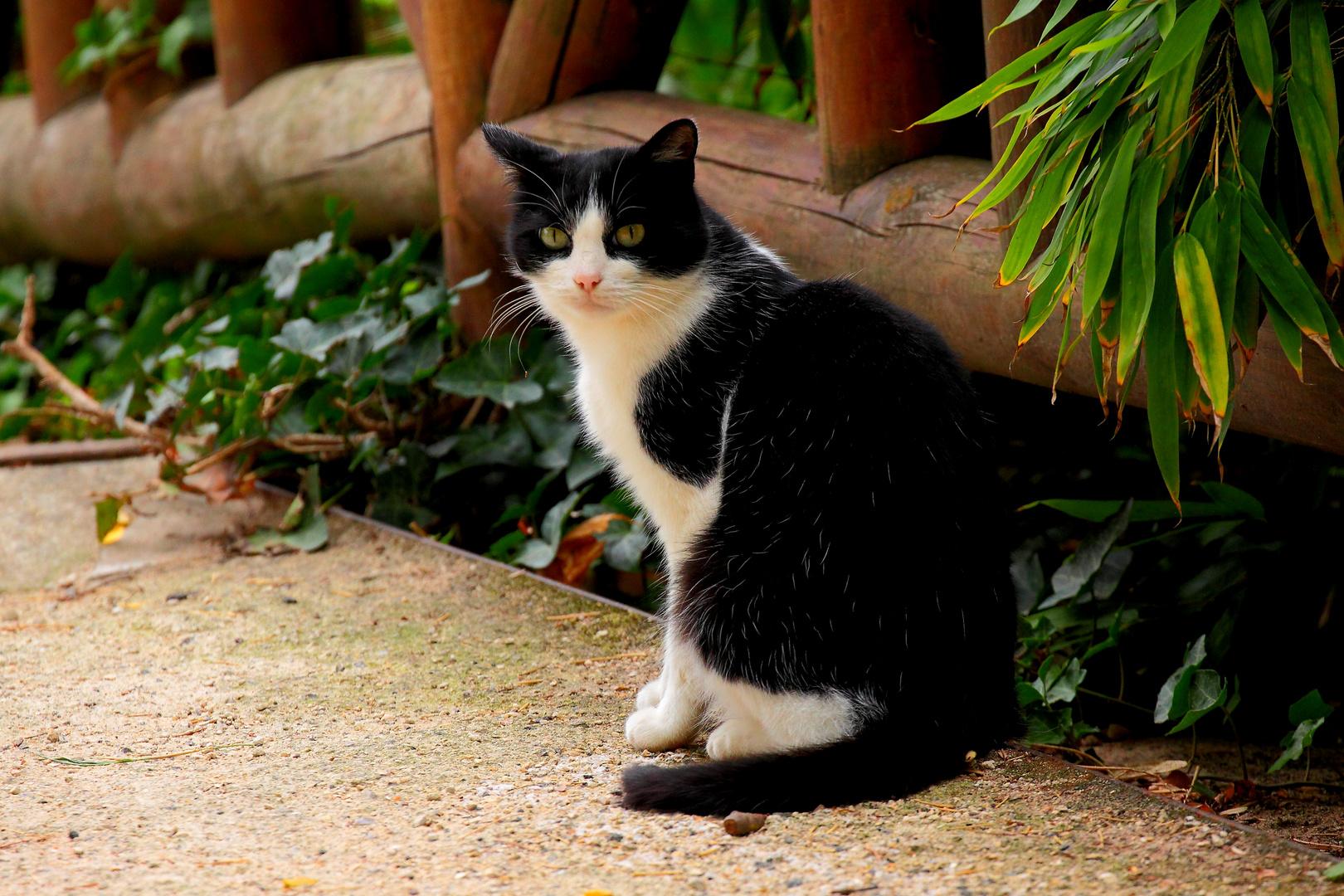 le chat sur le petit pont de bois