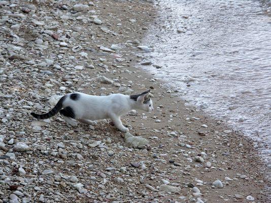 Le chat venu de la mer