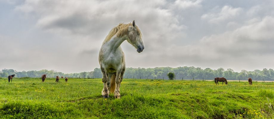 "Le cheval "" blanc """