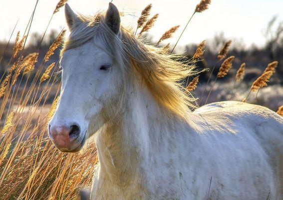 le cheval camarguais