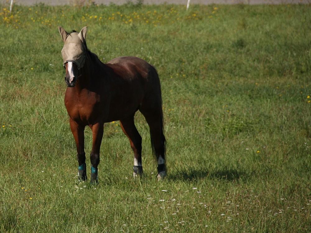le cheval de Zorro!