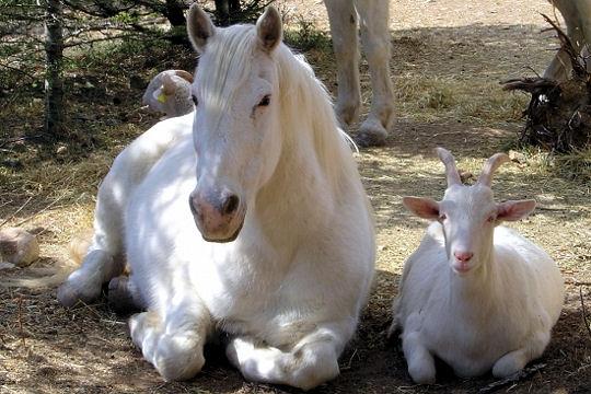 le cheval et la chevre
