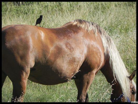 le cheval et son compagnon