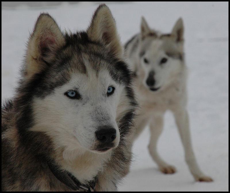 Le chien des neiges