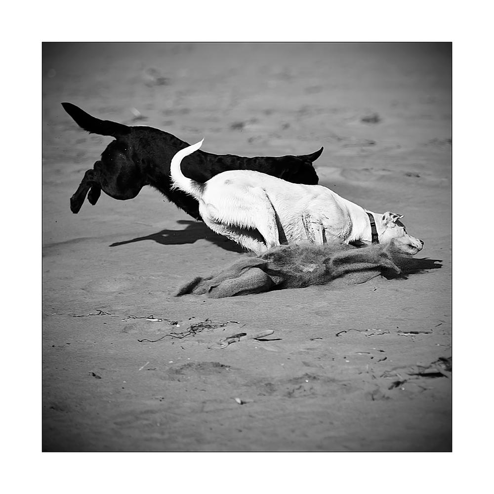 le chien noir et chien blanc
