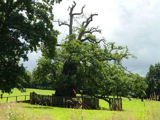 Le chêne à Guillotin