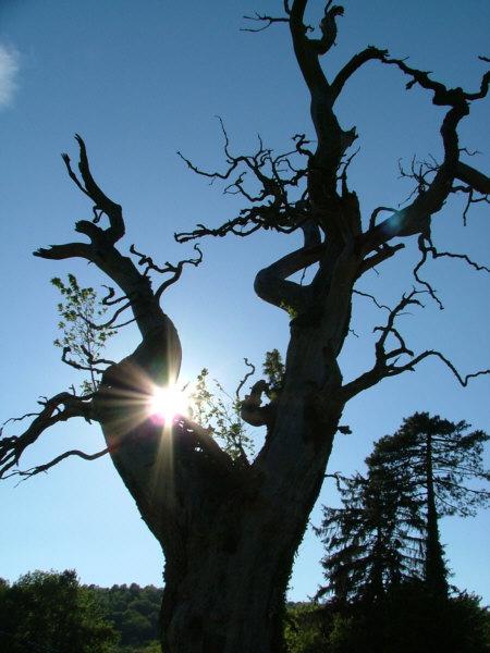 le Chêne de Saint Colomb - Arinthod - Jura