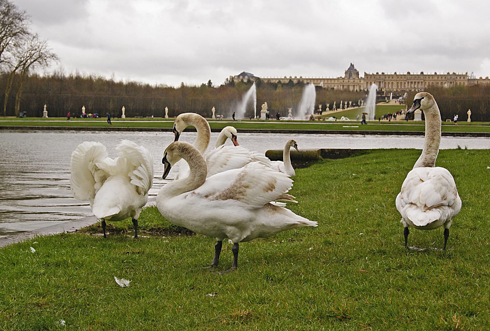 le château des cygnes, Versailles