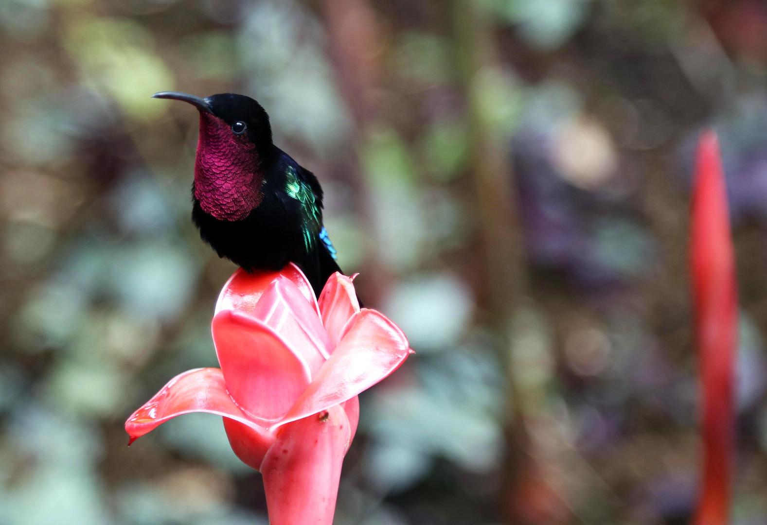 le colibris