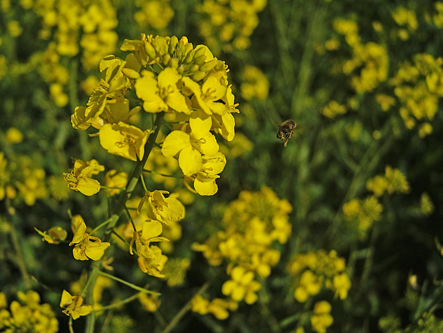le colza et l'abeille!!