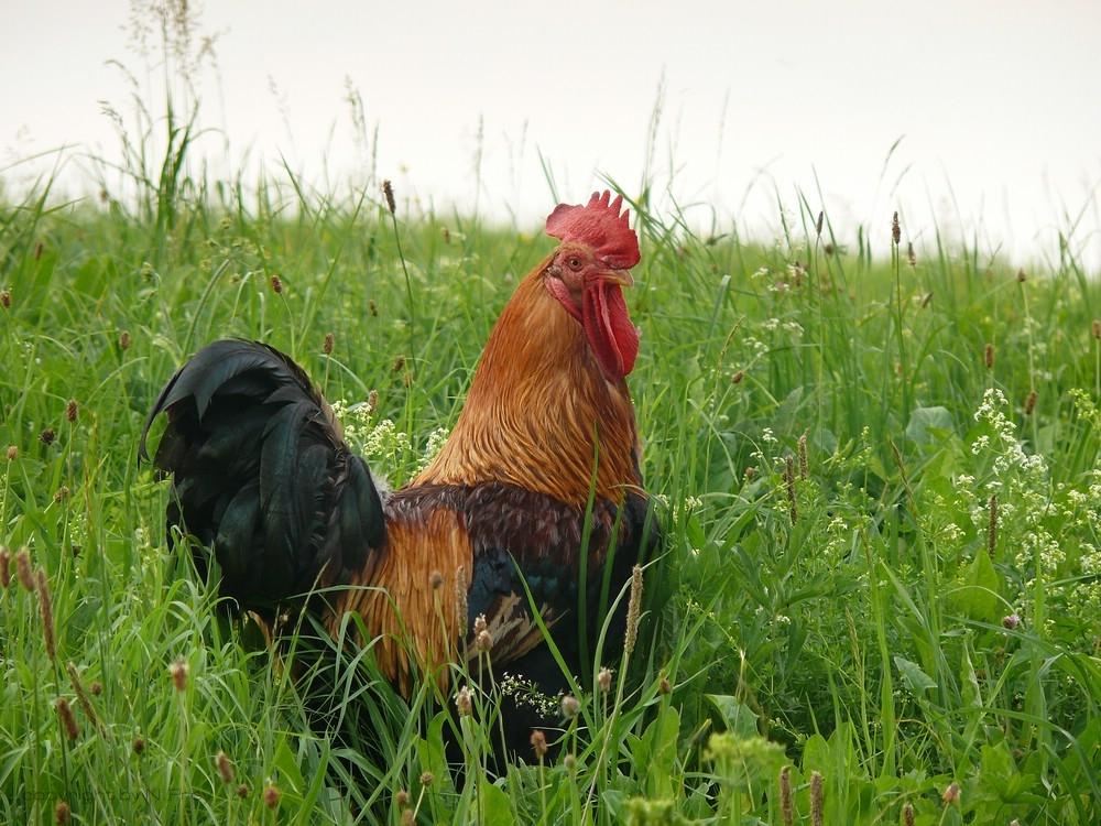 le coq de Bauernhof :D