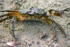 le crabe ...
