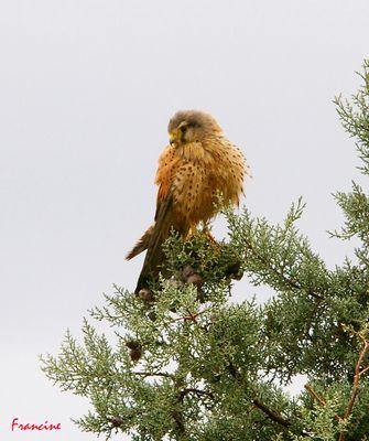 Le Faucon Crécerelle, espèce protégée ...
