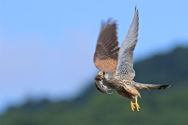 Le faucon revient au nid