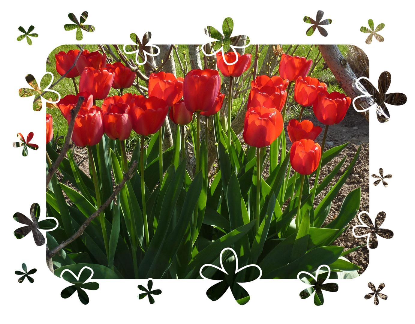 le festival des tulipes!