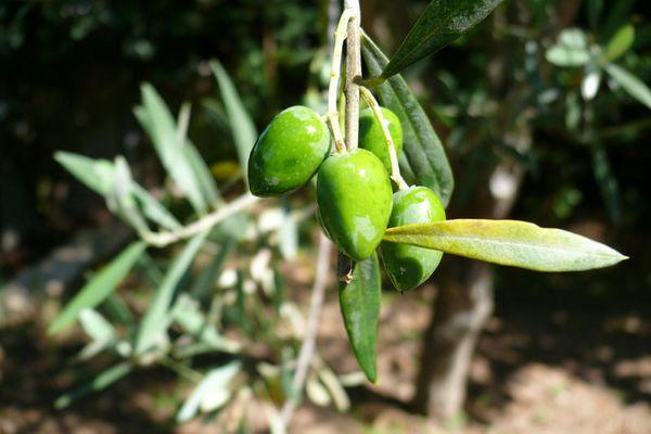 Le fruit de l'olivier