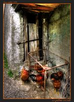 Le galline coccodè