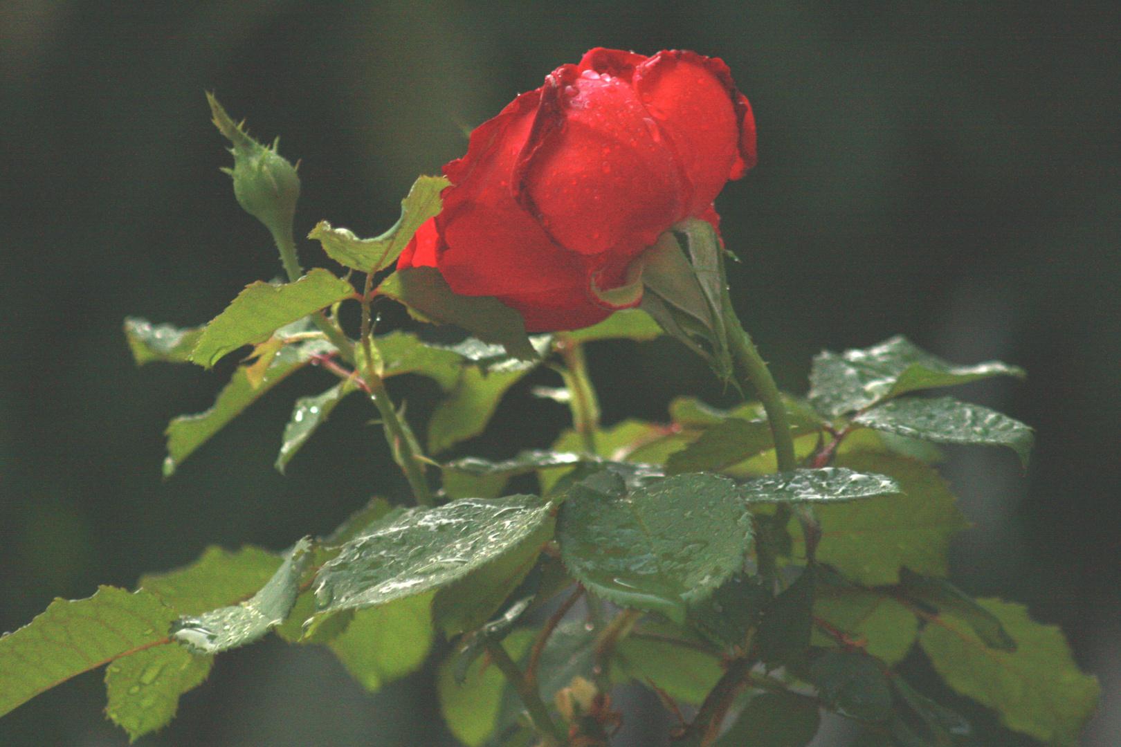 le gocce e la rosa