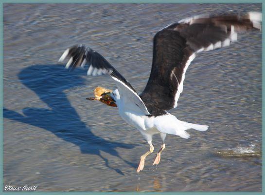 Le Goeland marin en vol avec un tourteau