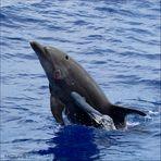 le grand dauphin de l'océan indien