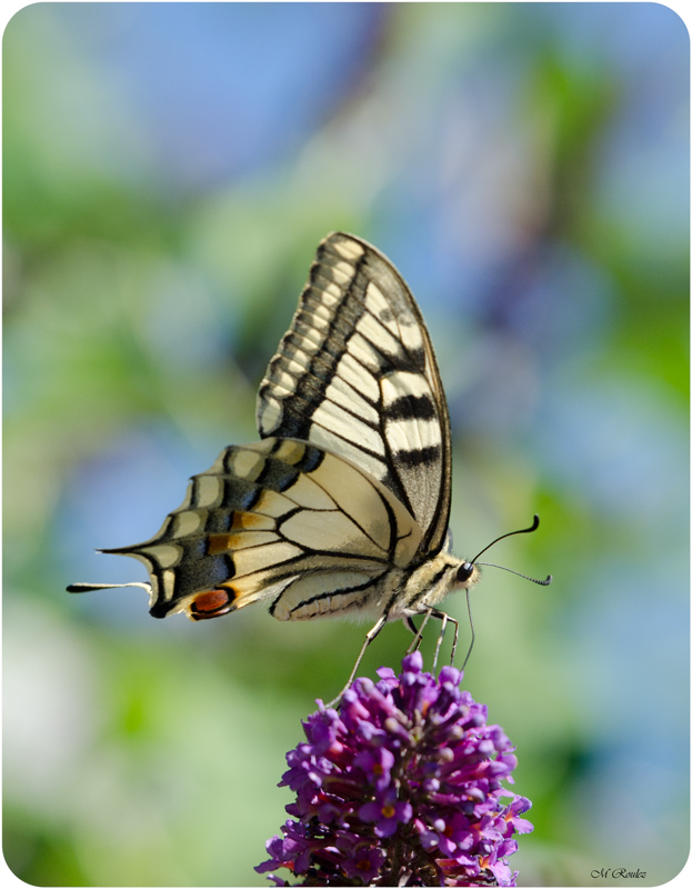 le grand machaon