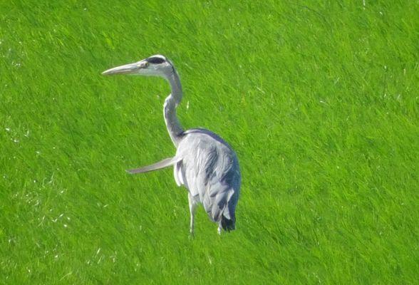 le heron dans les prairiesverte de lazeelande