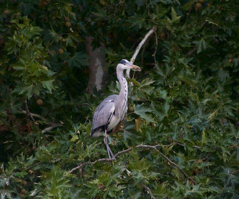 Le Heron des Ibis