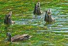 le lac des cygnes !! euuuh , ouppsss...la danse des canards, plutôt...!!..