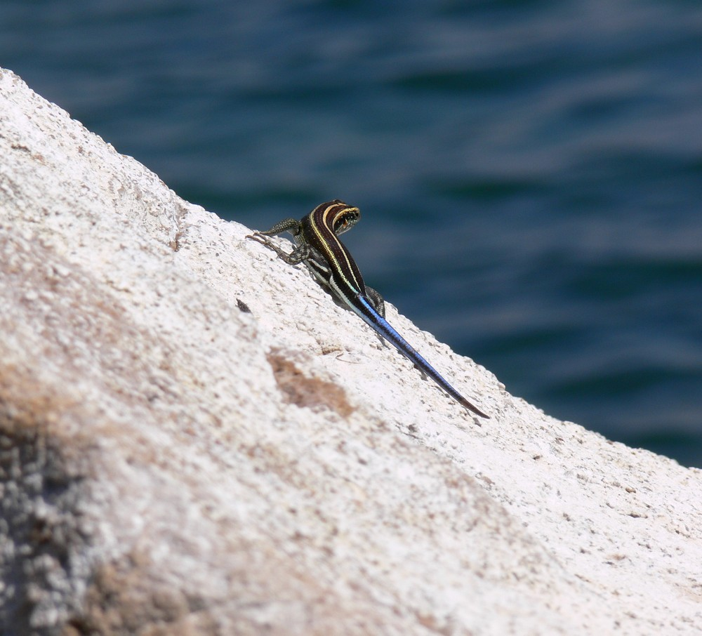 le lézard du lac Malawi