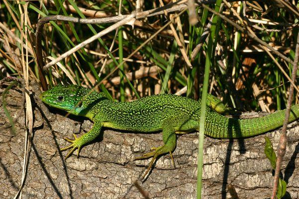 Le Lézard vert, Lacerta viridis