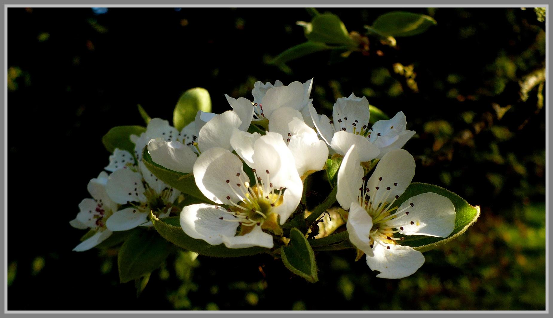 Le lin blanc du printemps ...