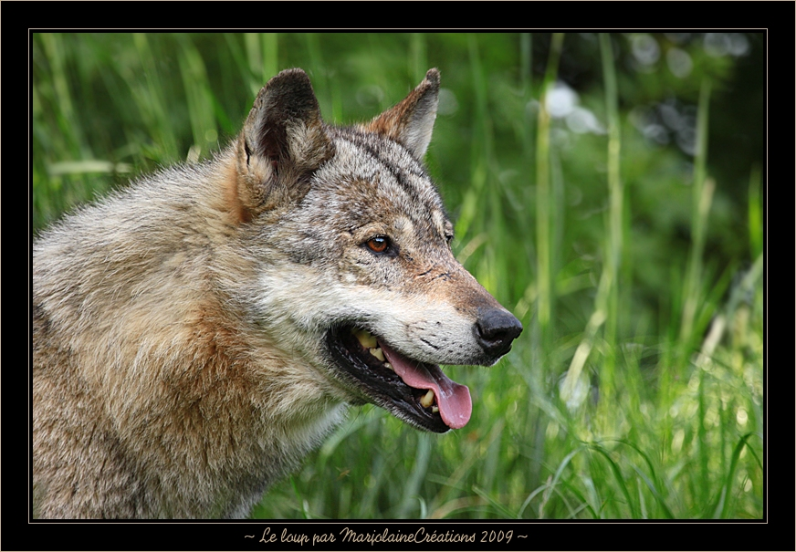 ~ Le Loup ~