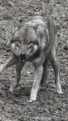 Le loup Italien pris sur le vif
