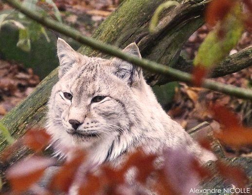 Le Lynx d'Europe dans toute sa beauté