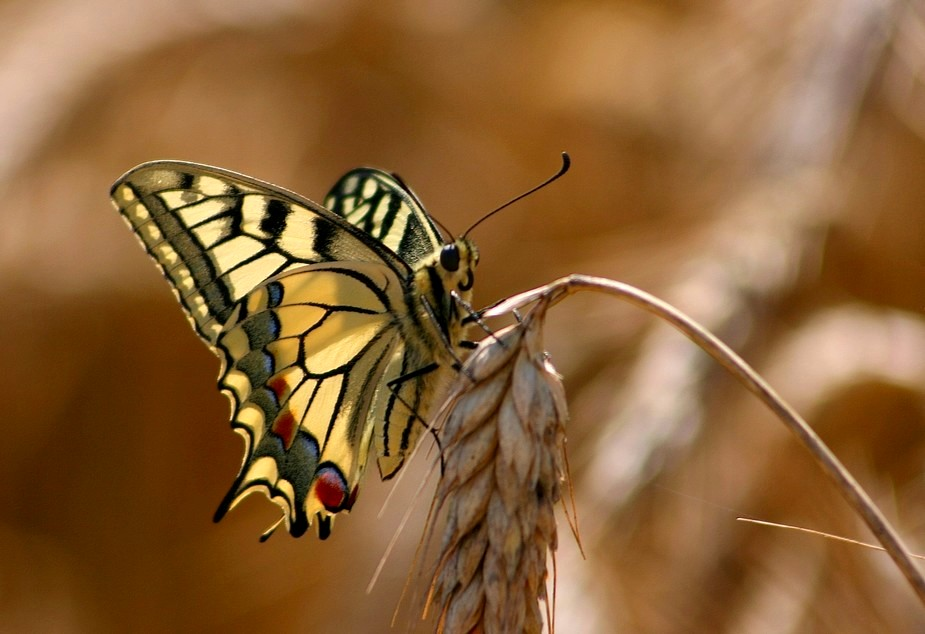 le machaon ...