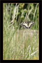 Le machaon au repos.