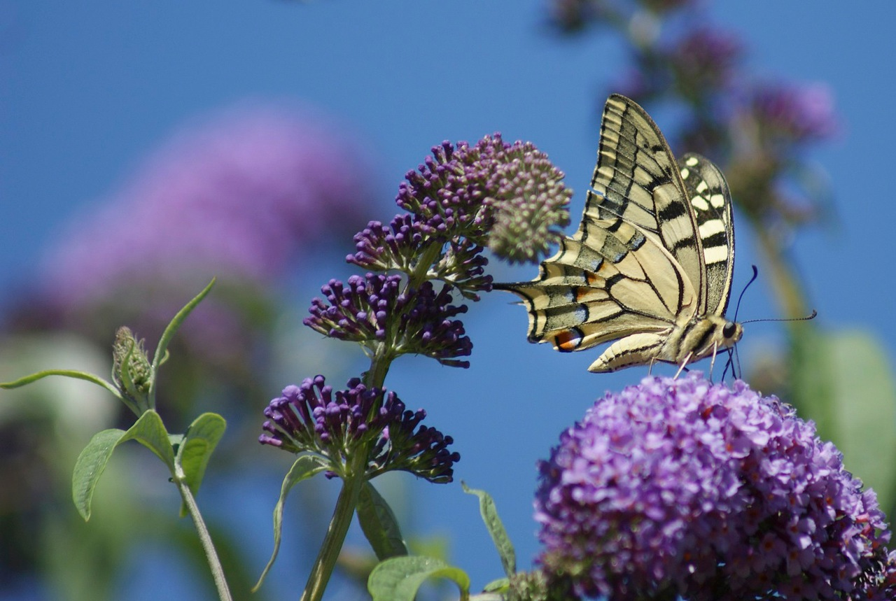 Le machaon ou grand porte queue
