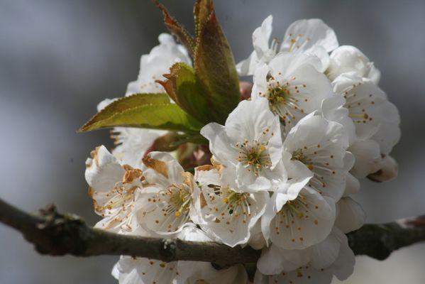 le mariage des cerises