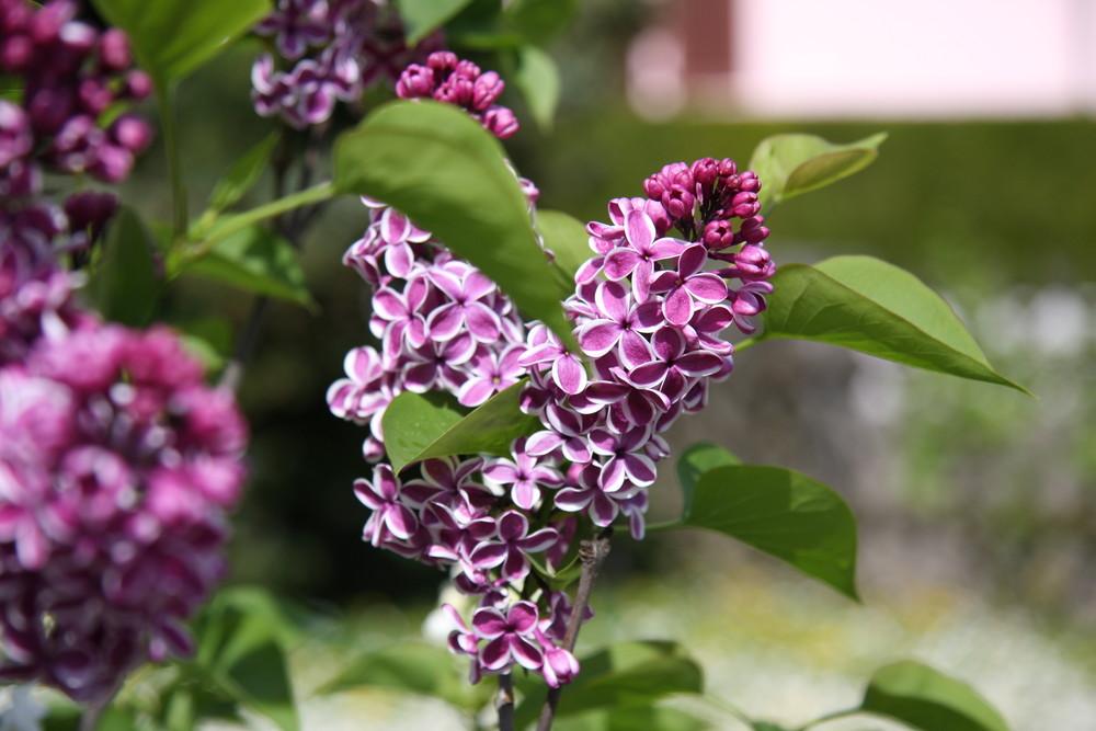 le mois du lilas