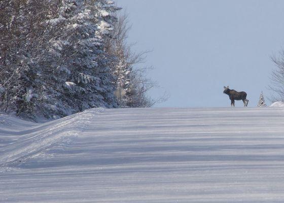 """Le """"Moose"""" aux aguets."""