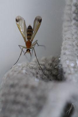 Le moustique