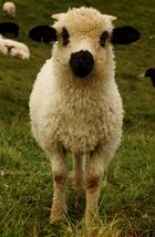 Le mouton masqué